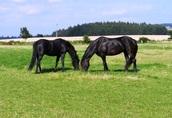 Królewskie konie fryzyjskie do przyjęcia (New Home).