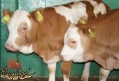 byczki mięsne cielęta cielaki limuze