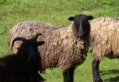 Owce wrzosówki, do dotacji