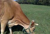 krowa rasy jersey