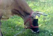 krowę rasy jersey sprzedam