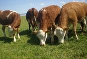 cielęta odsadki byczki i jałówki