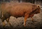 PILNIE sprzedam dwa mięsne byki, po 550 kg!