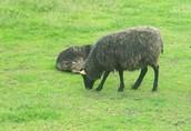 PILNIE sprzedam owce wrzosówki! Likwidacja stada! Tanio!