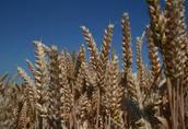 Materiał siewny jęczmień pszenica