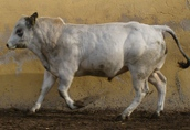 sprzedam byczki hodowlane rasy Piemontese