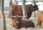 Highland, Byki, Bydło Szkockie 3