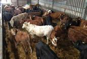 bydło mięsne byczki byki cielaki jałowice jałówki