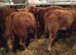 Cielaki i opasy Posiadamy w ciągłej sprzedaży byki