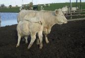 hodowla bydła mięsnego