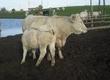 Pozostałe zwierzęta hodowlane krowy raz wycielone i ponownie