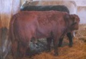 Opasy, byki odsadki mięsne charolaise limousine 200-300 kg