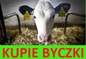 Kupie byczki cielaki z Wielkopolski, okolice Wrześni, Slupcy, Pyzdr
