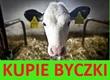 Cielaki i opasy Kupie byczki cielaki lub opasy