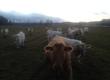Cielaki i opasy Posiadamy w sprzedaży byki Charolaise