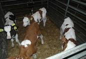 cielaki miesne byczki  1