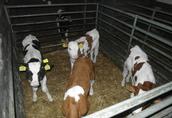 cielaki miesne byczki  2