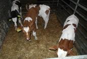 cielaki miesne byczki  3