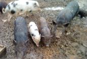 świnki wietnamskie, prosiaki, maciora, knur, świnie