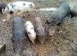 Pozostałe trzoda chlewna Mam do sprzedanie świnki wietnamskie