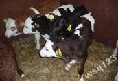 w ciągłej sprzedaży jałówki - cielaki byczki mięsne (mieszańce