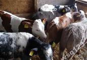 w ciągłej sprzedaży cielaki- byczki mięsne (mieszańce)