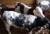 w ciągłej sprzedaży byczki cielaki mięsne (mieszańce)