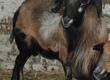 Pozostałe zwierzęta hodowlane baran kameruński sprzedam lub zamieni