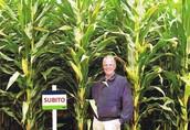 Subito - Kwalifikowane nasiona kukurydzy