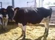 Jałówki Oferujemy krowy i jałówki z doskona