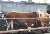 Sprzedam 3 letniego byka Simental