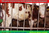 Jałówki wysokocielne Simental - luty, marzec. HF, krowy, pierwiastki