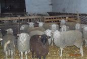 Jarki owcy olkuskiej