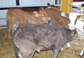Sprzedam byczki mięsne cielęta mięsne bydło byki cielaki w ci