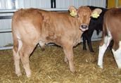 Sprzedam byczki mięsne cielęta mięsne bydło byki cielaki w ciągłej sprzedaży 2