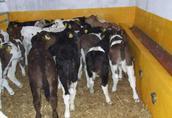 Sprzedam byczki mięsne cielęta mięsne bydło byki cielaki w ciągłej sprzedaży 4