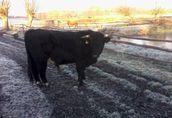 sprzedam byka rasy mięsnej