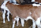 w ciągłej sprzedaży cielaki byczki mięsne (mieszańce)