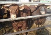 Bydło buhaje mięsne sprzedam