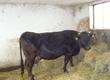 Jałówki Krowa mleczna rasy HO, urodzona