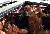 Kurczęta odchowane, kury, pisklęta jednodniowe