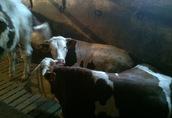 Sprzedam byczki rozpłodowe rasy mlecznej Montbéliarde