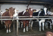 JAŁÓWKI Z HOLANDII, krowy, pierwiastki, cielaki, opasy, byczki, RATY