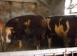 Byki na ubój 20 byków mięsnych i mieszanych