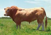 Ciagła sprzedaż byczków ras mięsny simental, limousin, charolaise