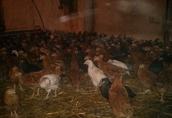 sprzedam kury kokoszki ogólnoużytkowe odchowane, nioski od hodowcy