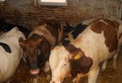 Byczki krzyżówki ras mięsnych
