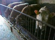 Jałówki na ubój Sprzedam jałówki mięsne 4 charolaise