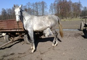 Polski koń szlachetny pół krwi