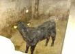 Cielaki i opasy Sprzedam byczka 3tygodniowego ras